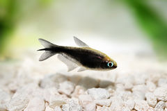 Black emperor tetra Nematobrycon amphiloxus tropical aquarium fish neon tetra Stock Photo