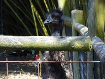 Black Emu Peering Over Fence. Cohanzick Zoo, Bridgeton, New Jersey; NJ Spring, 2018 Stock Images