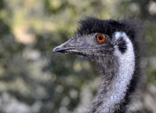 Black Emu Royalty Free Stock Photo