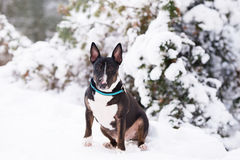 Black english bull terrier dog posing outdoors in winter Royalty Free Stock Image