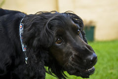 Black English Spaniel Growl Royalty Free Stock Images