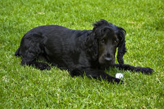 Black English Spaniel Icy Treat Stock Photos