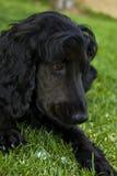 Black English Spaniel Portrait Stock Photos