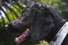 Black English Spaniel - Side Profile. A beautiful Black Spaniel. He has a rather inquiring gaze Stock Photos