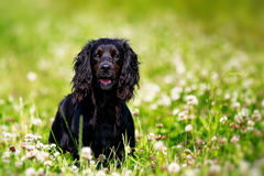 Black english springer spaniel Stock Image