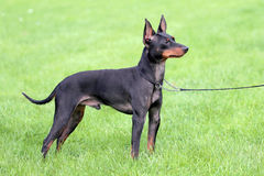 Black English Toy Terrier. In the garden Royalty Free Stock Photo