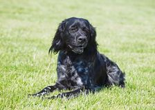 Black Epagneul breton dog on a green lawn. Black Epagneul breton dog on a natural green background royalty free stock photography