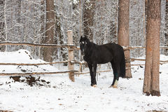 The black equine in winter Royalty Free Stock Photos