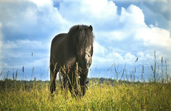 Black Equus ferus caballus male Stock Photography
