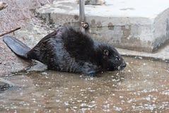 Black Eurasian beaver Stock Photography