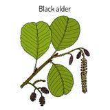 Black or European alder Alnus glutinosa , medicinal plant. Hand drawn botanical vector illustration vector illustration