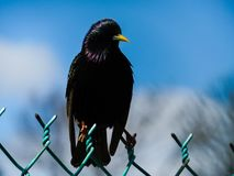 European Starling Bird Perched On A Fence With The Blue Sky In The Background. Black European Starling Bird sitting on a fence on a beautiful bright day Stock Photos