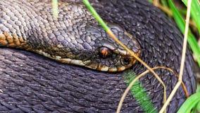 Black European viper (vipera berus) Royalty Free Stock Images