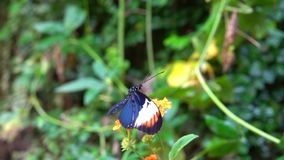 Black exotic Butterfly Pollinating flower. Black exotic Butterfly with white yellow spots pollinating orange flowers stock video