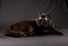 Black Exotic Persian on black background Stock Photos