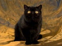 Black Exotic Persian on bronze fabric Stock Image