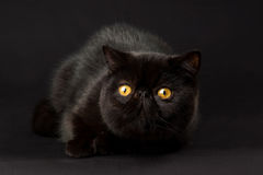 Black Exotic Persian cat Royalty Free Stock Image