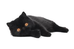Black exotic shorthair kitty cat. One lying black exotic shorthair kitten cat isolated on white royalty free stock images