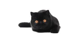 Black exotic shorthair kitty cat. One lying black exotic shorthair kitten cat isolated on white royalty free stock photos