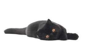 Black exotic shorthair kitty cat Stock Photography