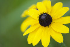 Black eye flower summer Royalty Free Stock Image
