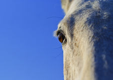 Black eye of a horse on a background of blue sky Royalty Free Stock Image