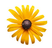 Black eye susan Stock Photo