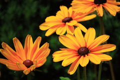 Black-Eyed Susan. Blossom in Summer Stock Photos