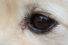 Black eye of white dog Royalty Free Stock Image