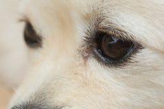 Black eye of white dog Royalty Free Stock Photo