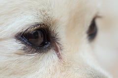 Black eye of white dog Stock Photography