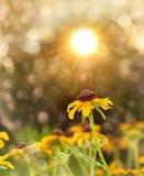 Black-eyed Сьюзан в солнце вечера Стоковое Фото