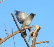 Black Eyed Bul bul. Bird flight black eyed Bul bul Royalty Free Stock Image