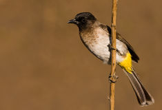 Black Eyed Bulbul Royalty Free Stock Photos
