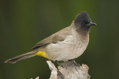 Black-eyed bulbul. Fruit-eating and insectivorous, rely on trees for nesting and perching, common garden bird Royalty Free Stock Photo