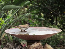 Black-eyed Bulbul taking a bath Stock Images