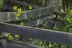 Black eyed daisy Royalty Free Stock Images