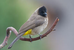 Black-eyed dark-capped Bulbul. Adult male black-eyed dark-capped Bulbul royalty free stock photography