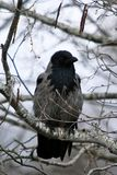 Black eyed grey crow Corvus corone , krahe sits on a birch branch royalty free stock photos
