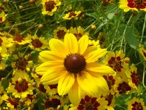 Black-Eyed Susan. The Maryland State Flower amongst other similarly colored flowers Royalty Free Stock Photography
