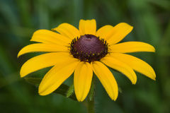 Black eyed susan Royalty Free Stock Image