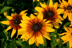 Black-eyed Susan Stock Photography