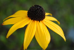 Black Eyed Susan Stock Photo