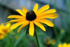 Black Eyed Susan. Yellow Black-Eyed Susan standing proudly in a summer garden royalty free stock photography