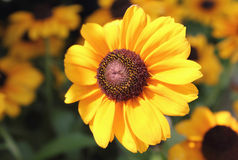 Black eyed Susan. Blossoming and bright black eyed susan blooming in the meadow Stock Photo
