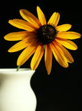 Black-eyed susan. A single black-eyed susan flower stem in a white vase royalty free stock photography