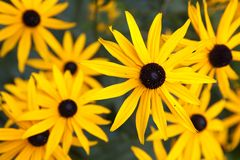 Black eyed Susan Stock Photos