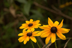 Black-eyed Susan Royalty Free Stock Photo