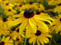 Black Eyed Susan. Stands tall in the morning light against a field of flowers Stock Photos