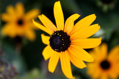 Black Eyed Susan Royalty Free Stock Photos